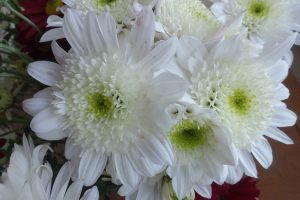 chrysanth-4